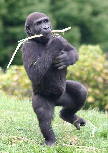 Gorilla_dance_3